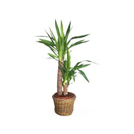 livraison de fleurs yucca mafleur ma maroc. Black Bedroom Furniture Sets. Home Design Ideas