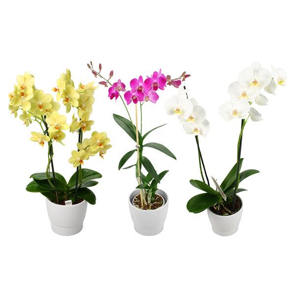 livraison de fleurs orchid e en pot mafleur ma maroc. Black Bedroom Furniture Sets. Home Design Ideas
