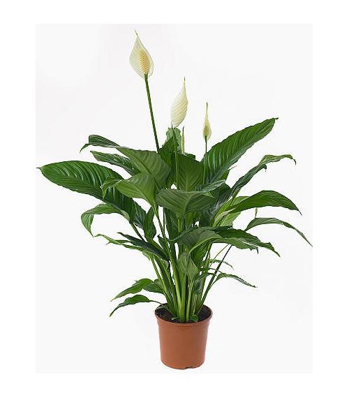 livraison de fleurs spathiphyllum cupido mafleur ma maroc. Black Bedroom Furniture Sets. Home Design Ideas