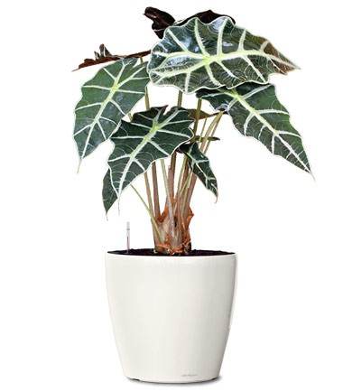 Flowers delivery alocasia polly mafleur ma morocco for Alocasia d interieur