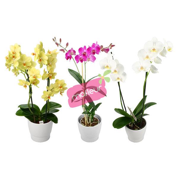 Soins des orchidees en pot for Plante haute en pot